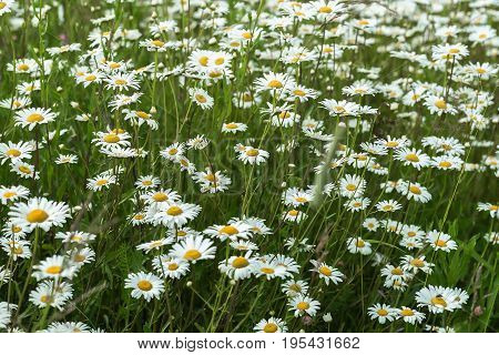 Beautiful white daisies in the wind. Many wild meadow of daisy flowers. Summer day after rain. Concept of seasons, ecology, green planet, Healthy, natural green pharmacy, perfumery