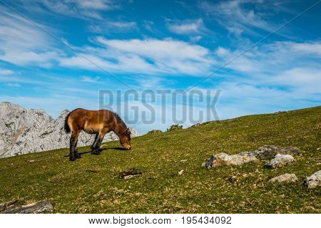 Young pony pasturing in the mountains Basque Country