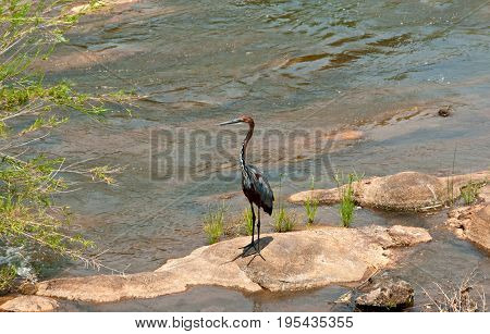 Goliath Heron (Ardea goliath) in Kruger national park south africa
