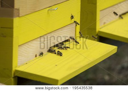 bees (apis mellifera) are flying back to hive