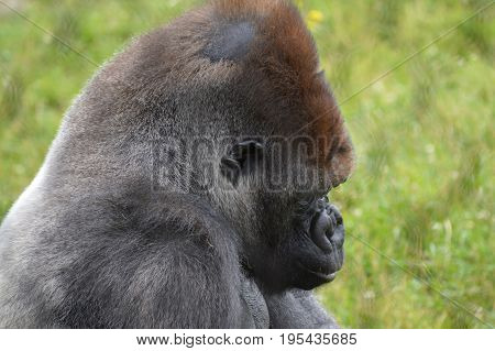 A male gorilla in the outdoors during summer