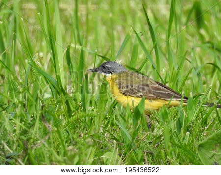 Beautiful bird in its natural habitat. The western yellow wagtail (Motacilla flava). Green grass background.  The beauty of nature. European animals. Wild animals. Ornithology. Close-up photography.
