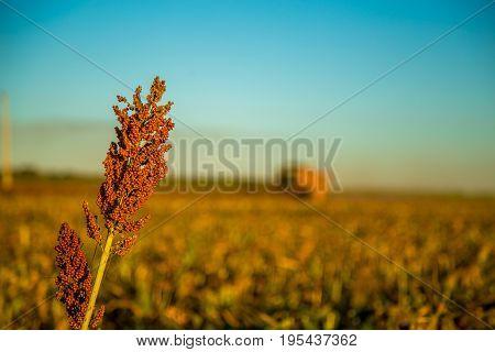 Harvest Sorghum Planting