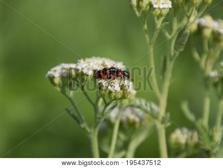 Mating Of Red Beetles On White Inflorescences Of Celandine