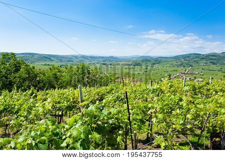 Vineyards From Soave.italian Wine.