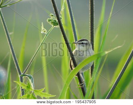The sedge warbler (Acrocephalus schoenobaenus). Beautiful bird in its natural habitat.  The beauty of nature. European animals. Wild animals. Ornithology.