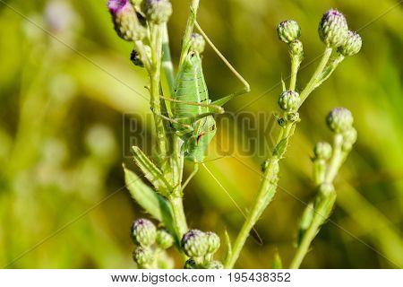 Isophya On The Stems Of The Tubercle. Wingless Grasshopper Isoph