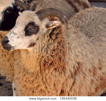A photo of a curly fleeced sheep
