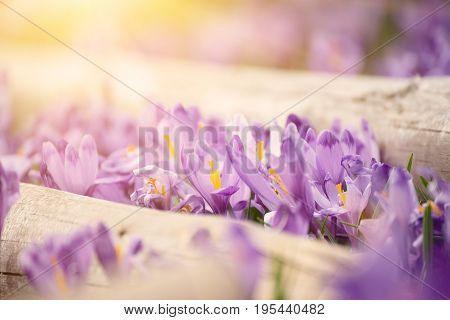 Beautiful violet crocus flowers growing on the dry grass, the first sign of spring. Seasonal sunny easter background.
