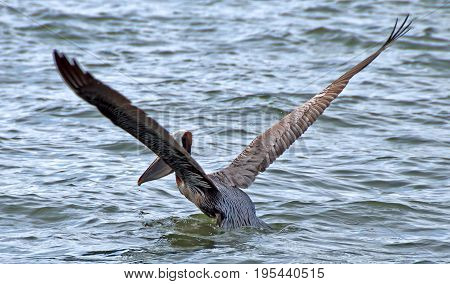 A photo of a pelican extending its wings as it takes off from the water