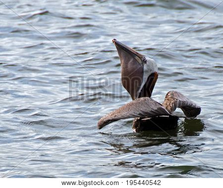 A photo of a pelican gulping down a recently caught fish through the large pouch in its throat