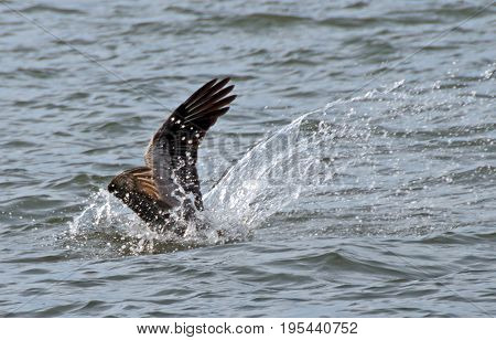 A photo of a pelican plunging into the water in search of its fishy prey