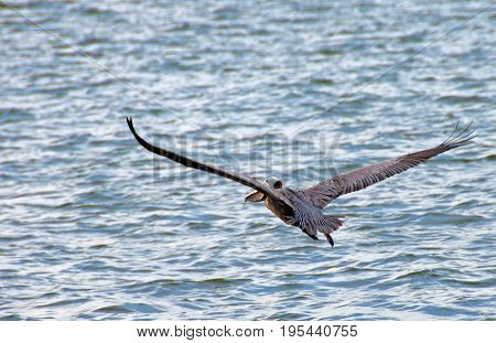 A photo of a pelican in full flight as it slowly rises above the water