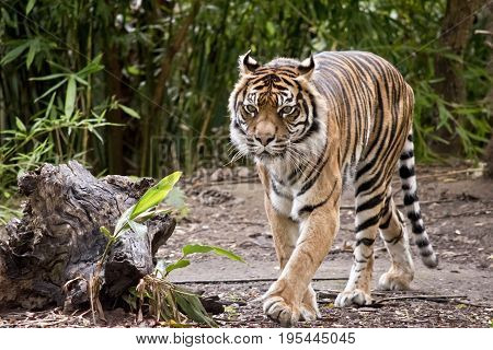 the tiger is walking around the park