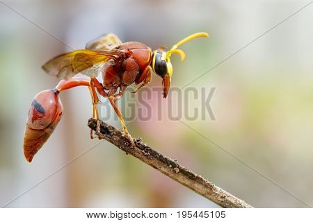 Image of potter wasp (Delta sp Eumeninae) on dry branches. Insect Animal