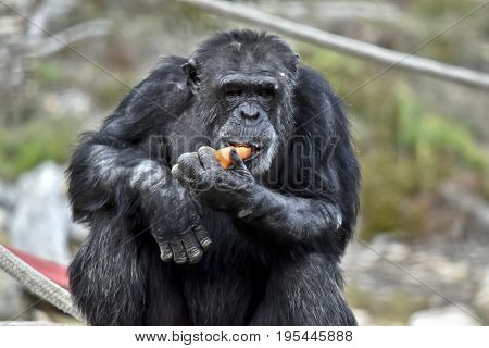 the chimpanzee is sitting eating a carrot