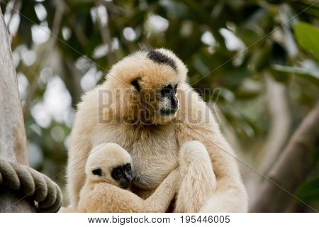 the white faced gibbon is cuddling her infant