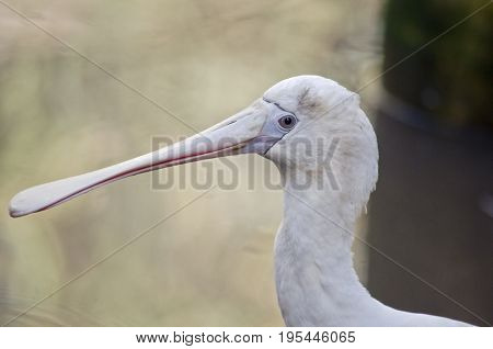 this is a close up of a yellow spoonbill