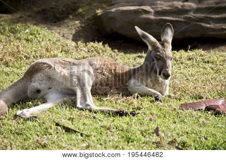 the red Kangaroo is resting in the field
