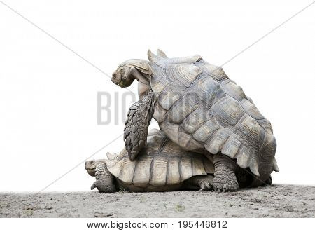giant Galapagos turtles mating isolated on white background