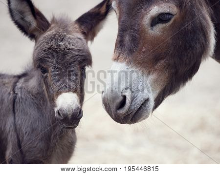 Baby donkey mule with its mother, close up