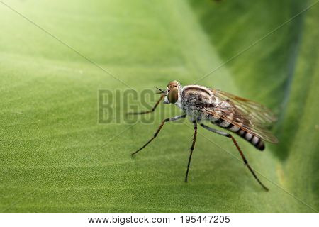 Image of Tiny Robber Fly (Asilidae) on a green leaf. Insect Animal