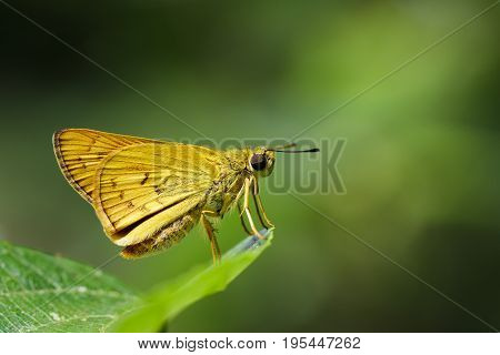 Image of common dartlet butterfly (Oriens gola Moore1877)on a green leaf on nature background. Insect Animal