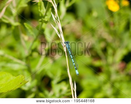 Common Blue Damselfly (enallagma Cyathigerum) On Grass Stem