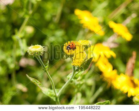 7-dot Ladybird (coccinella 7-punctata) On Yellow Flower Outsider