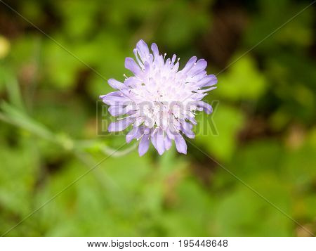 Field Scabious (knautia Arvensis) Close Up Isolated