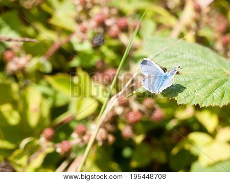 Silver-studded Blue Butterfly (plebejus Argus) On Leaf Full Wings