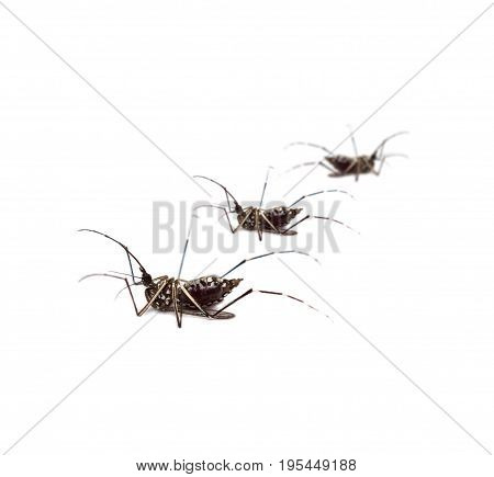 black culex mosquitoes isolated on white background