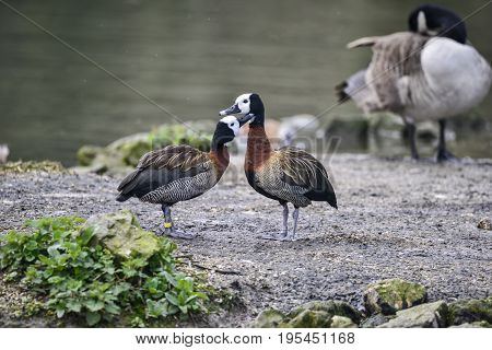Mated pair of White Faced Whistling ducks preening each other in Spring