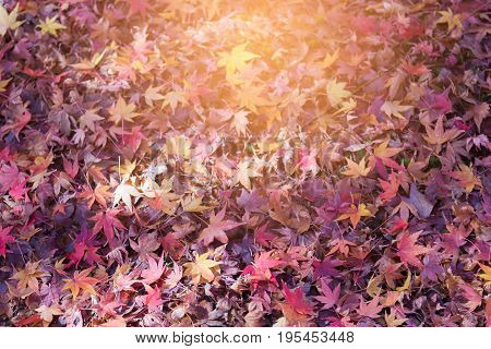 Purple fallen maple leaves with sunset tone natural background