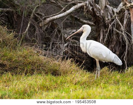 A Yellow-Billed Spoonbill (Platalea regia) at the edge of Herdsman Lake in Perth, Western Australia.