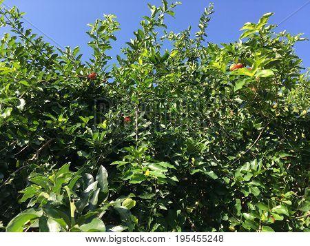 fresh green Barbados cherry tree in nature garden