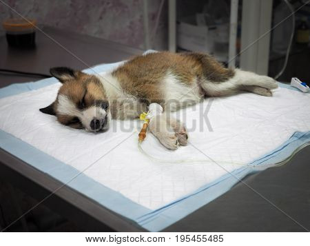 Illness Puppy With Intravenous Anything On The Operating Table In A Veterinary Clinic