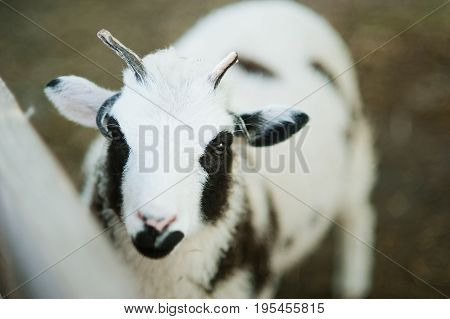 The Sheep With Four Horns Jacob Breed