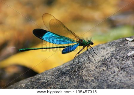 The Damselfly, blue Matrona nigripectus dragonfly outdoor