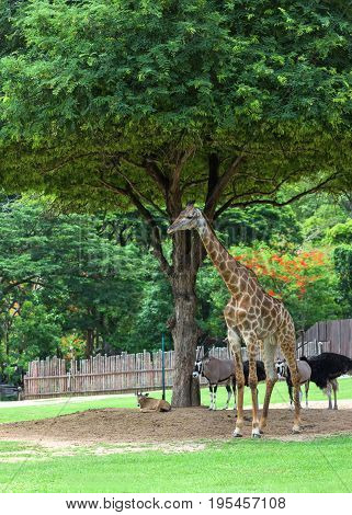 Pet giraffe in a zoo in Thailand.giraffe animal.