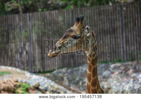 Pet giraffe in a zoo in Thailand.