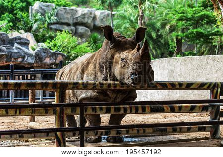 Rhinoceros in the zoo.Rhinoceros animal.The zoo in Thailand.