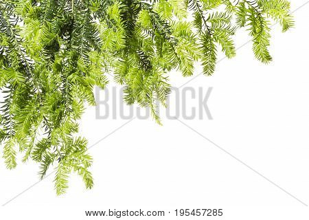 Young twigs of yew on a white background.Spring.Background with light green twigs of yew.