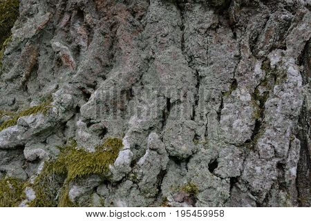 The relief birch bark is covered with white moss in the summer in the park