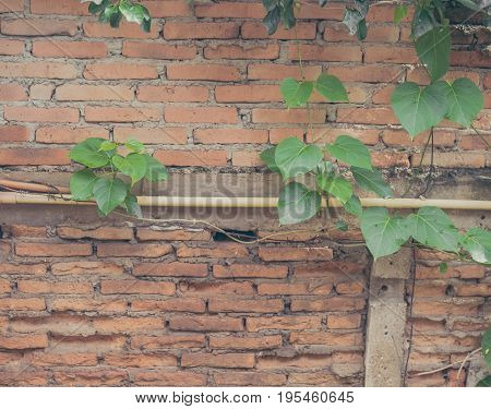 Green Leaf And Brick Wall .