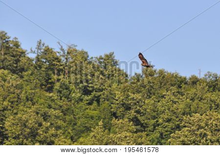 Common buzzard, bird of prey in flight above the forest. Buteo buteo, common buzzard flying