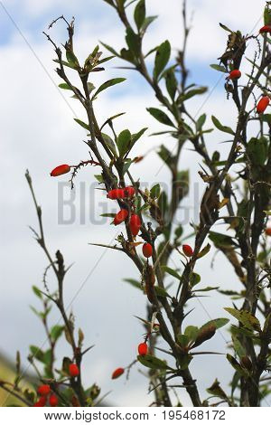 Barberry growing on the branch in autumn time