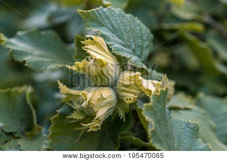 Green Hazelnuts And Tree Leafs In Summer Garden