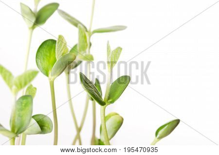 Soybean seedlings over white, closeup. Young Soya bean plants, sprouts and leafs of germinated Glycine max, a legume, oilseed and pulse. Cotyledons with first single blades. Front view. Macro photo.