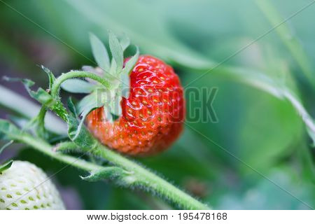 Organic red strawberry growing field. beautiful garden berry macro view. shallow depth of field, soft selective focus.